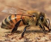 Пчелопакеты Карпатка на 2017год
